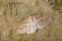 Graugelber Breitflügelspanner, Breitflügel-Spanner, Männchen, Agriopis marginaria, dotted border, male, l'Hibernie hâtive, Spanner, Geometridae, looper, loopers, geometer moths, geometer moth