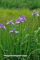 63899-05112 Blue Flag Irises (Iris virginica) in wetland, Marion Co.  IL