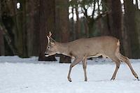Europäisches Reh im Schnee, Winter, Rehwild, Reh-Wild, Bock, Rehbock, Männchen, Capreolus capreolus, roe deer, snow