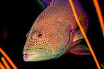 Coral Grouper close up, Cephalopholis miniata, Maldives