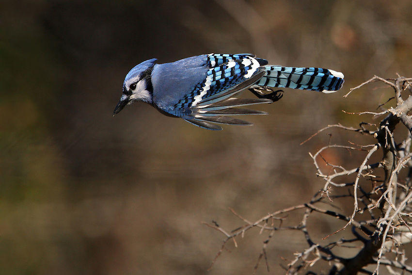 Blue Jay take-off, with the birds primary feathers spread like fingers..