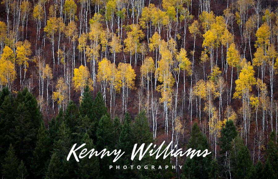 Aspen Trees in Golden Yellow Autumn Fall Colors, Colorado, USA.