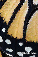 MO05-501z    Monarch wing scale close-up,  Danaus plexipuss