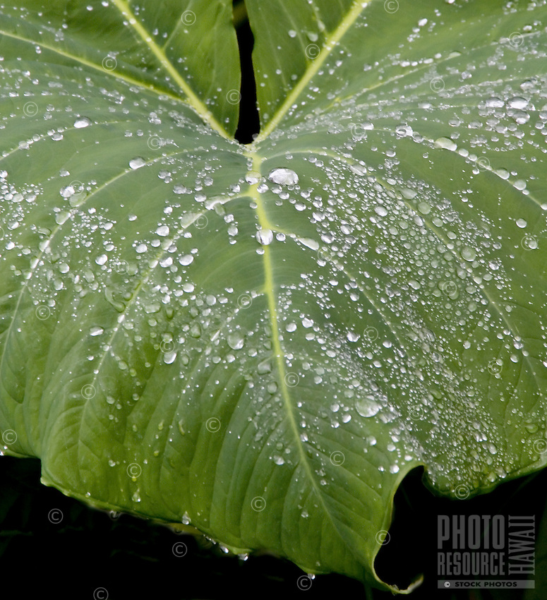 "Ape leaf (xanthosoma robustum,""""elephant ear""""), with rain droplets"