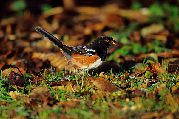 Spotted Towhee (Pipilo maculatus).  Formerly: Rufous-sided Towhee.  Pacific NW.  Winter.