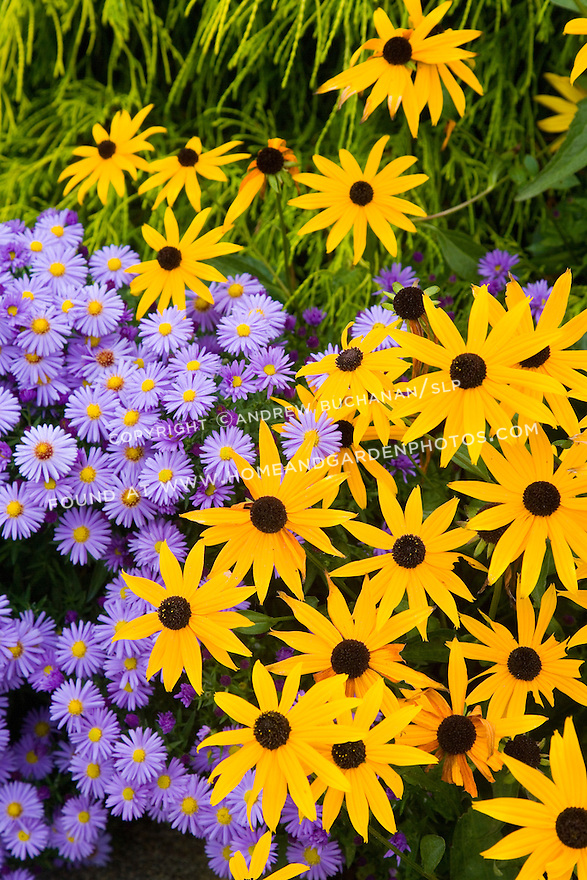 Close-up detail shot of bright yellow rudbeckia, black-eyed Susan, and purple aster fall flowers filling the frame.<br />