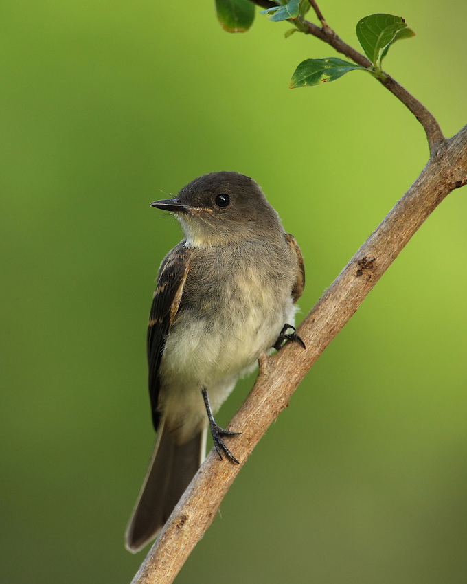 The Eastern Phoebe is a small passerine bird. This tyrant flycatcher breeds in eastern North America.