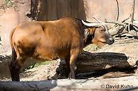 0619-1102  African Forest Buffalo (Congo Buffalo), Syncerus caffer nanus  © David Kuhn/Dwight Kuhn Photography