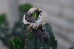 Costa's hummingbird chicks in nest on cactus