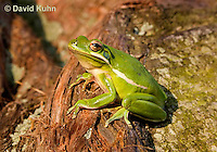 1218-1019  American Green Treefrog Sitting on Tree, Hyla cinerea  © David Kuhn/Dwight Kuhn Photography