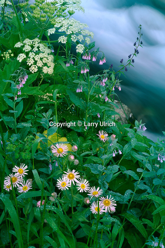 Streamside garden along West Maroon Creek<br /> Elk Mountains, White River National Forest<br /> Maroon Bells-Snowmass Wilderness<br /> Rocky Mountains, Colorado