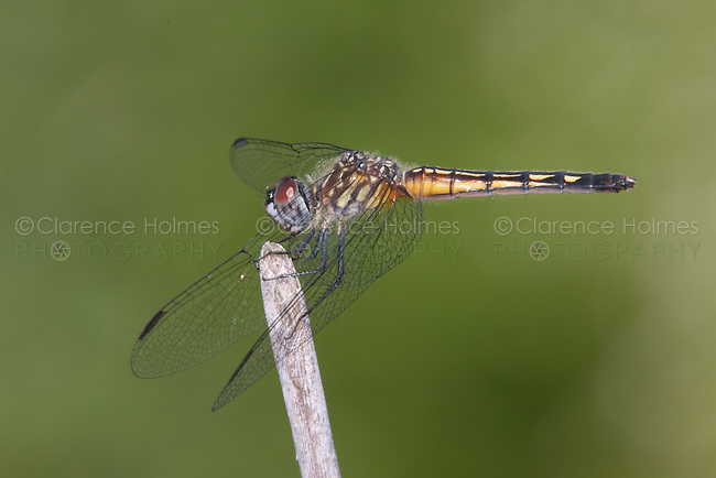 Blue Dasher (Pachydiplax longipennis) Dragonfly - Female, Sterling Forest, Tuxedo Park, Orange County, New York