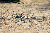 Arizona Prairie Dog watching the action during the 2nd round of the Waste Management Phoenix Open, TPC Scottsdale, Scottsdale, Arisona, USA. 01/02/2019.<br /> Picture Fran Caffrey / Golffile.ie<br /> <br /> All photo usage must carry mandatory copyright credit (© Golffile | Fran Caffrey)