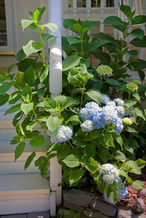Blue hydrangea macrophylla flowers next to front porch stair post, summer flowering shrub in bloom