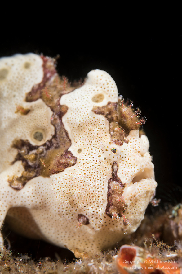 Dumaguete, Dauin, Negros Oriental, Philippines; a cream colored, adult painted frogfish hiding amongst marine debris on the sandy bottom