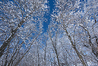Shelterbelt trees covered in hoarfrost<br />