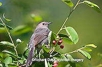 01392-026.17 Gray Catbird (Dumetella carolinensis) eating Shadblow Serviceberry (Amelanchier canadensis)  Marion Co. IL