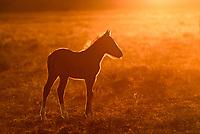 Golden Hour. Mustang foal. Great Basin Desert, Utah.