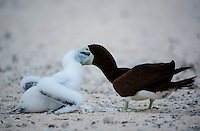 Brown booby (Sula leucogaster) is a large seabird of the booby family, Sulidae. They present sexual dimorphism. The female booby reaches about 80 centimetres (31 in) in length, its wingspan measures up to 150 cm (4.9 ft), and they can weigh up to 1,300 g (2.9 lb). The male booby reaches about 75 centimetres (30 in) in length, its wingspan measures up to 140 cm (4.6 ft), and they can weigh up to 1,000 g (2.2 lb).