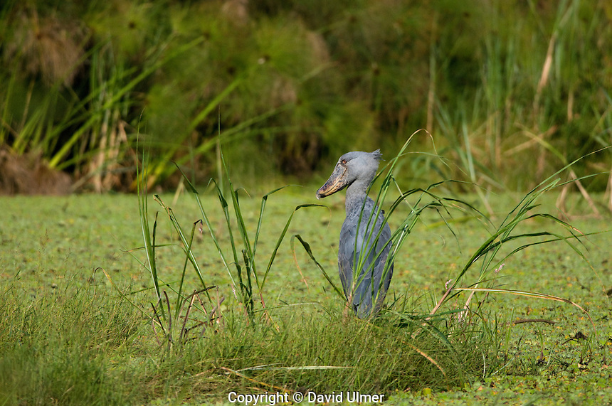 Shoebill standing in swamp in Lake Mburo National Park, Uganda