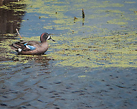 Male Blue-winged Teal sitting in shallow water in duckweed