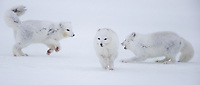 Two male Arctic Foxes compete over one female who escapes their attention.