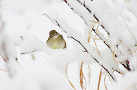 Willow Flycatcher (Empidonax traillii) in springtime snow.  Western U.S., May.