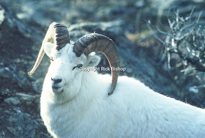 Dall Sheep Ram seen in Alaska