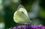 Large / Cabbage White Butterfly, Pieris brassicae, on buddleia flower, garden.United Kingdom....