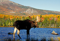 BULL MOOSE AT SANDY STREAM POND. BAXTER STATE PARK MAINE USA.