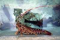 Allevamento. Breeding.Aragosta. Lobster.....