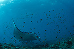 Manta Rays in cleaning station