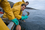 Salmon net fisherman James Mackay in his coble at Armadale, Sutherland, recovering a bird which had become trapped in one of his bag nets. James Mackay was one of the last remaining fishermen who caught wild Atlantic salmon using traditional methods. His fishery was one of the few remaining in Sutherland in the far north west of Scotland.