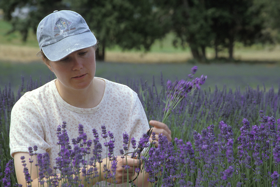 Woman cutting lavender, Sequim, Olympic Peninsula, Washington