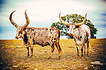 Longhorns in the Texas Hill Country.