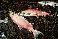 Sockeye salmon ( Oncorhynchus nerka ) is found in the North Pacific  . They return from the sea to the rivers of their birth to build nests, breed and then die, British Columbia