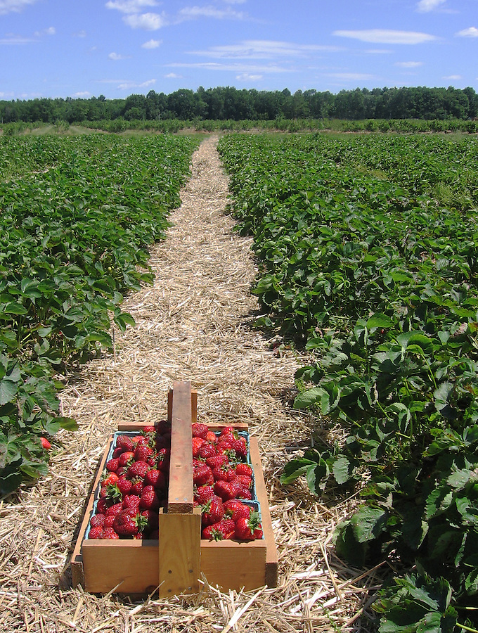 Just picked strawberries in harvest basket in field