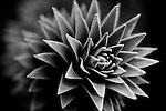 Macro abstract of stunning monkey puzzle tree, also known as the pehuen tree.