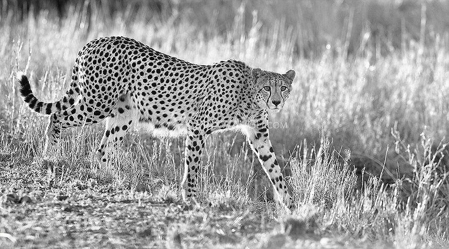 Late during our stay in Kruger we happened upon a family of four cheetahs near the road.<br /> <br /> This image is also available in color.