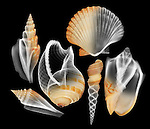 X-ray blend study of six orange shells (on black) by Jim Wehtje, specialist in x-ray art and design images.
