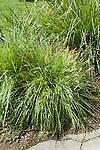 ANDROPOGON TERNARIUS, SPLITBEARD BLUESTEM GRASS