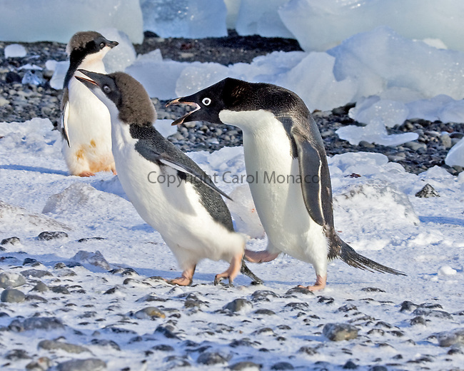 Adelie penguin follows its chick, still scolding and yelling at him/her, in Antarctica