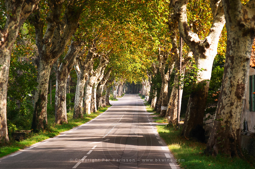 A tree lined country road allee with plane trees platanes Saint Remy Rémy de Provence, Bouches du Rhone, France, Europe