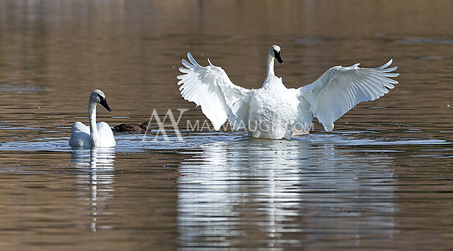 A quartet of trumpeter swans was hanging out together on the Yellowstone River.  This may be the same foursome that was released as juveniles by the park service last year in an attempt to boost Yellowstone's trumpeter population.