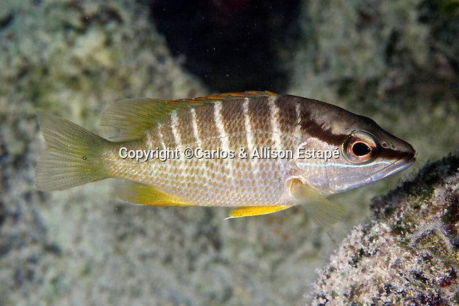 Lutjanus apodus, Schoolmaster snapper, juvenile, Florida Keys