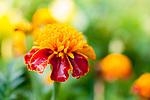 Marigold Blossom