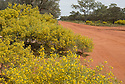 Yellow Silver Cassia plants in bloom, Gundabooka National Park, outback, New South Wales