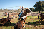 J.W. Dell'Orto swings his lasso to catch the heals of a calf during wInter calf marking and branding with the Joeses outfit near Calaveritas, Calaveras County, Calif.