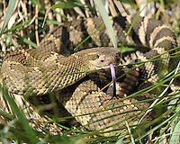 A Northern Pacific Rattlesnake stands its ground in Washington State.