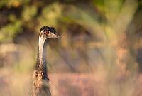 Emus were often seen near the road around Exmouth in Australia's northwest corner.